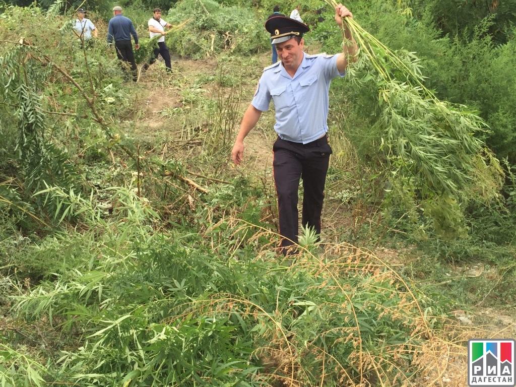 Растет конопля в дагестане марихуаны украина плантация
